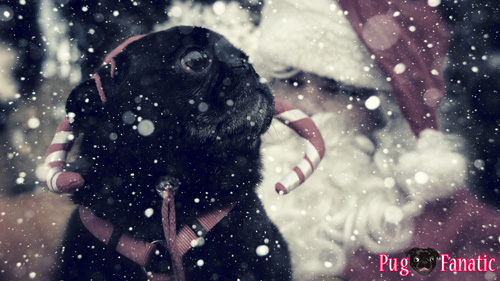 A Pug Fanatic Christmas
