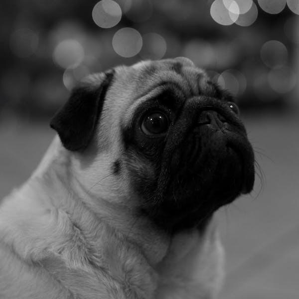 animal-dog-pug-77151.jpeg#asset:1365