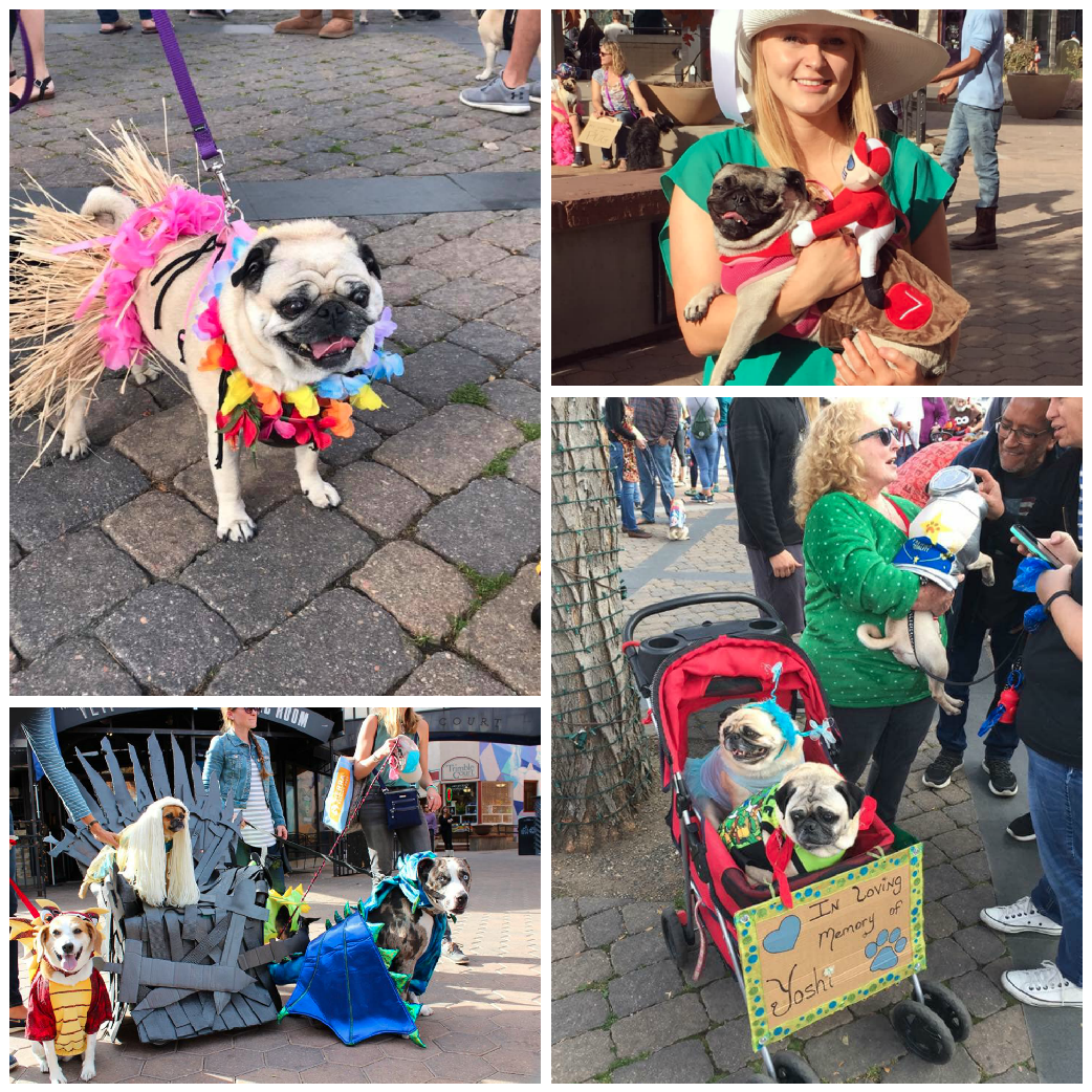 Fort Collins Halloween Pug Parade